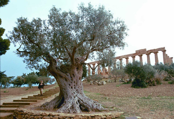 Olives 101 - The life cycle of an olive tree