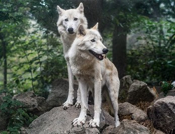Wolves and Humans