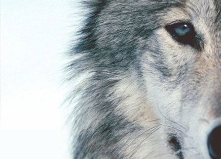 10 Fascinating Facts You Never Knew About Wolves