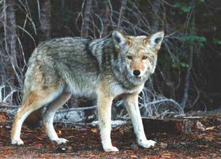 Top 10 Facts About Wolves