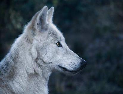 Wolf Myths: Debunked