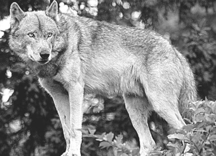Wolf Evolution: Where Did They Originate?