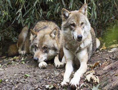 Why We Need to Save Our Wolves Now