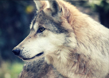 Wolf Evolution: Wolves and Humans