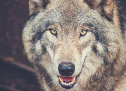 Plan B To Save Wolves - I AM WOLF NATION