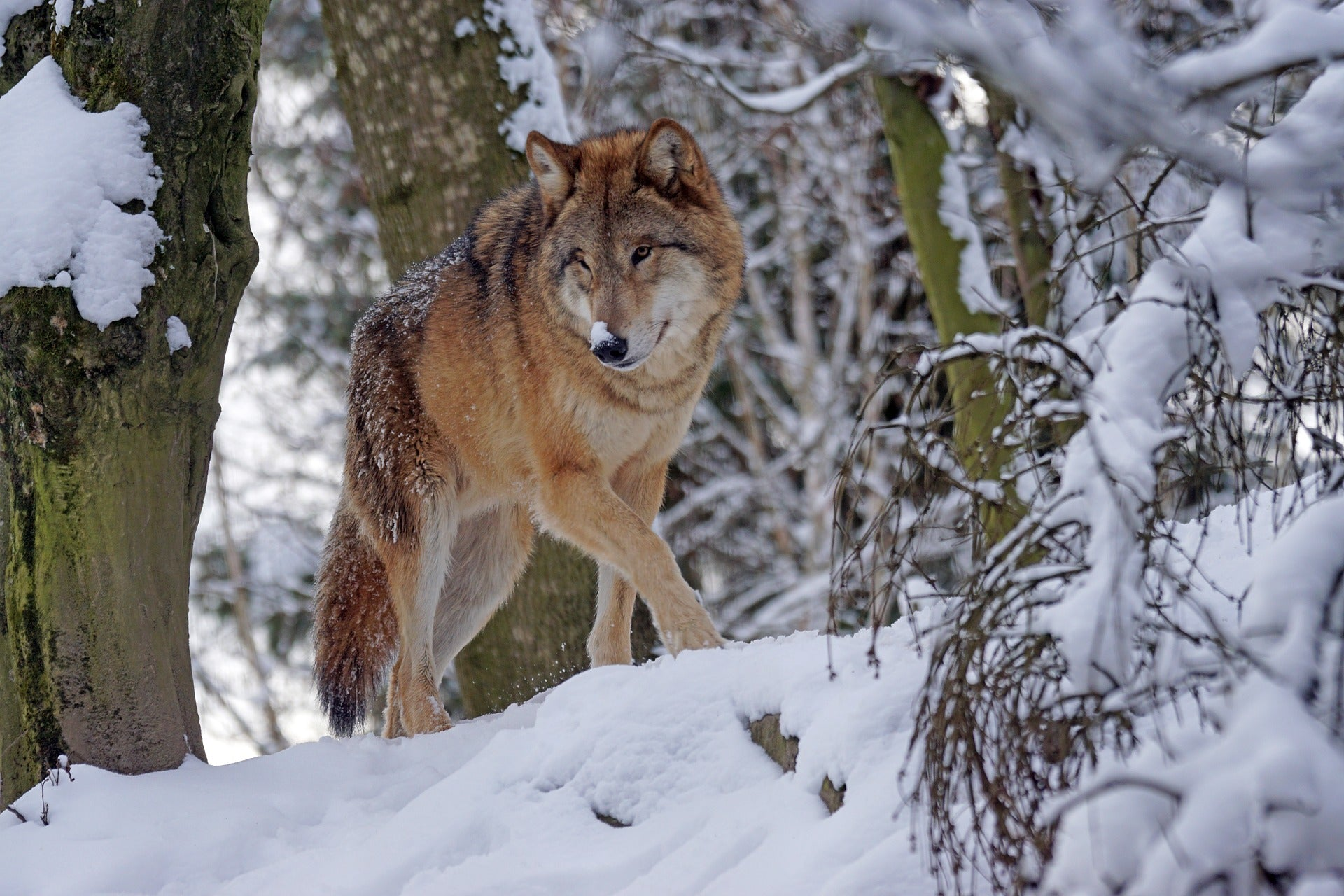 Social Distancing? Learn from Wolves