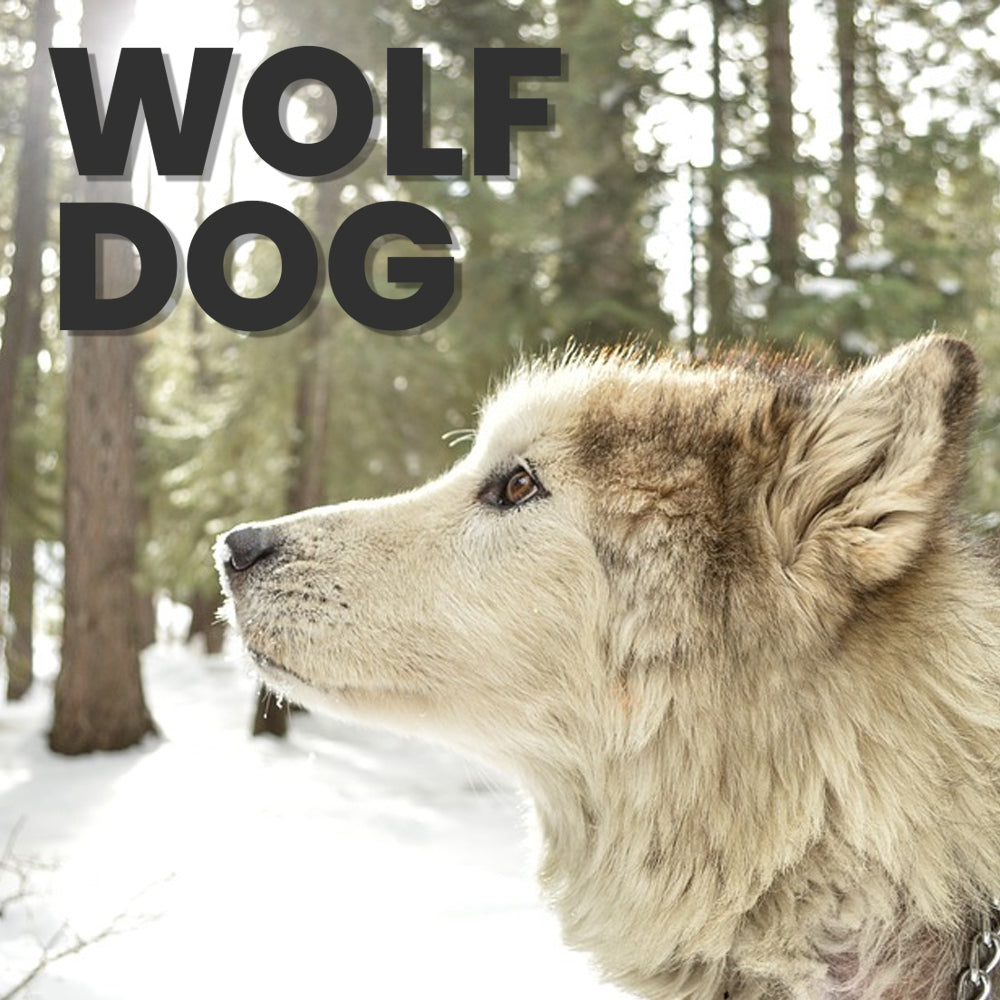 10 Ways to Find Out If Your Dog is Part Wolf