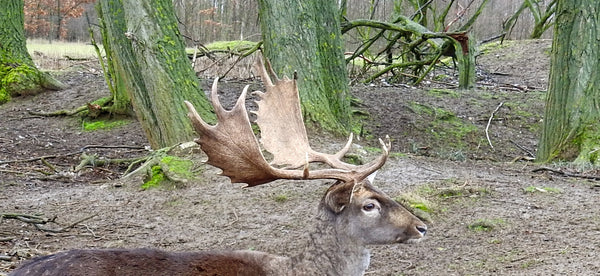 Fallow Antlers