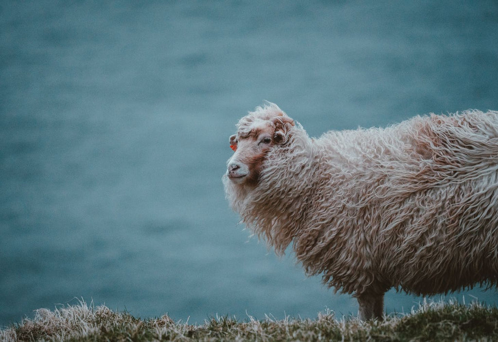 a sheep looks out to sea in majestic fashion