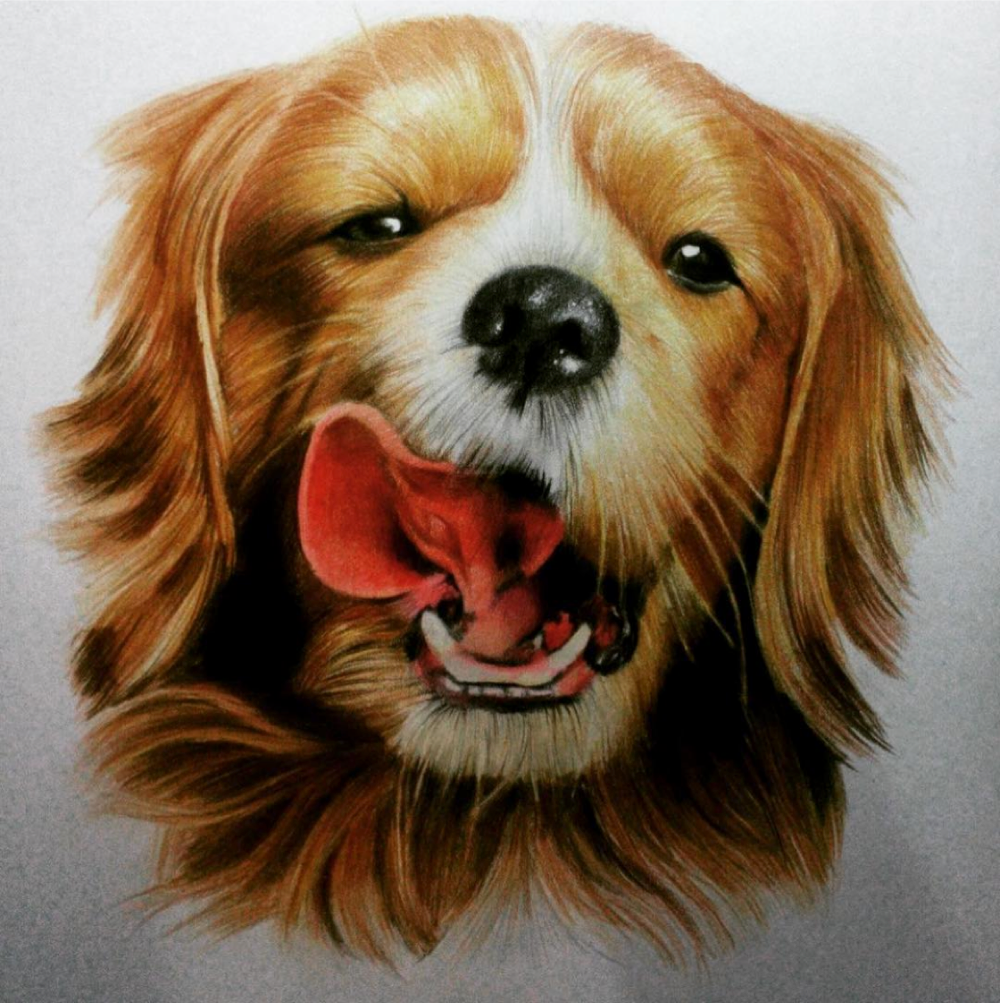 Coloured pencil pet portrait,  realistic pet portrait, traditional coloured pencil drawing