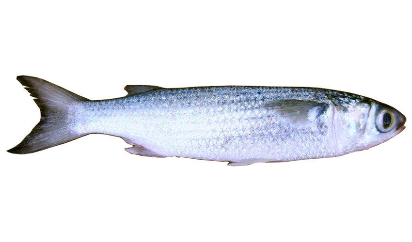 Unrigged Silver Mullet