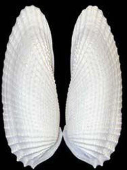 Angel Wing Seashell Pairs