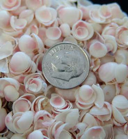 Apple Blossom seashells