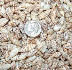 Columbella seashells