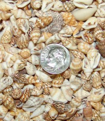 Dove sea shell