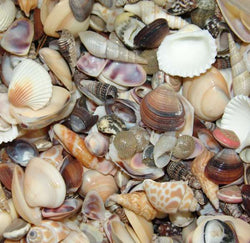 Wholesale Seashells bulk sea shells