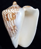 Noble volute seashell