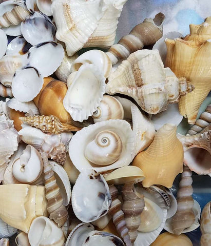 Bulk Seashells large