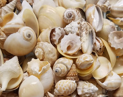 Bulk Assorted Medium Seashells