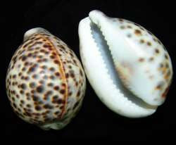 Tiger Cowry Seashells