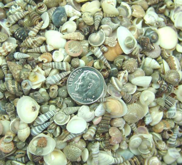 tiny mix of seashells mini seashells