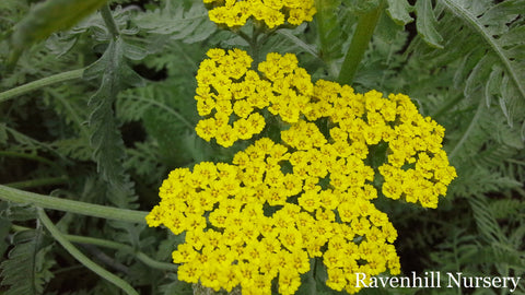 Achillea Moonbeam