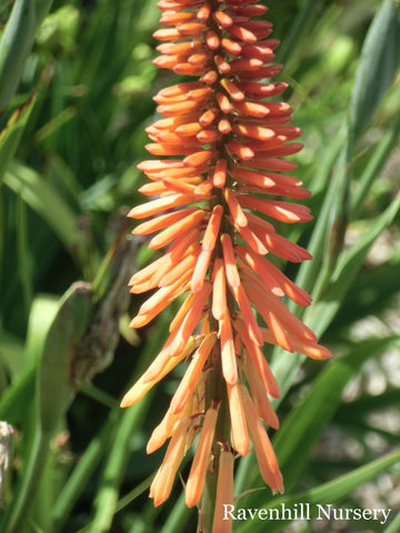 Kniphofia Dwarf Orange