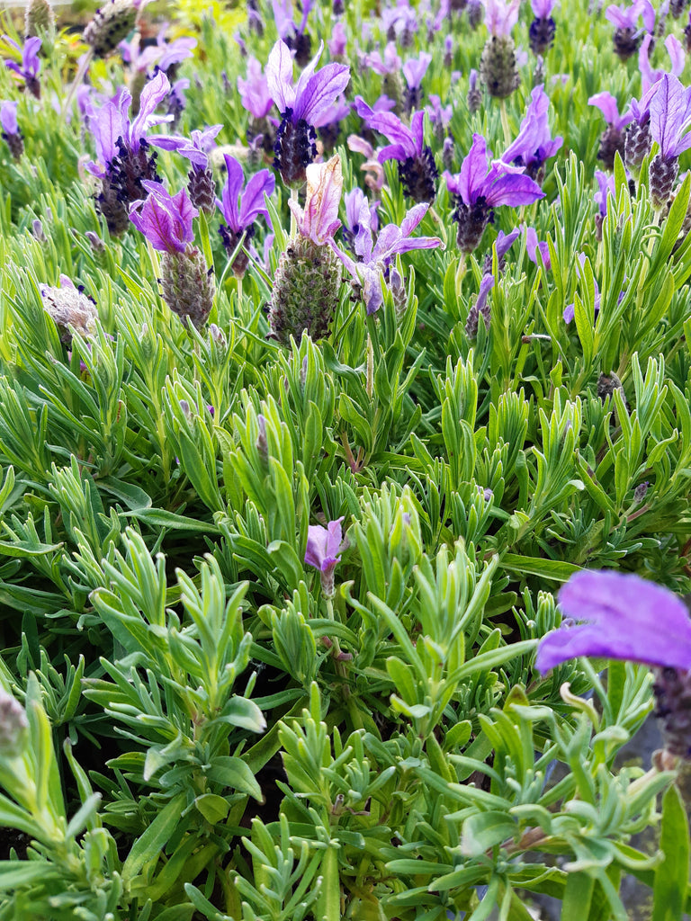 Lavendula stoechas Joyful Bliss