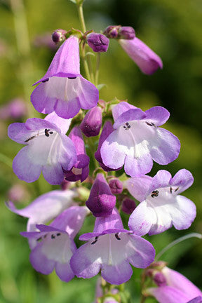 Penstemon Alice Hindley