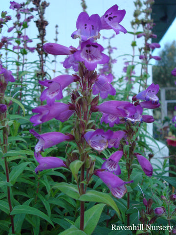Penstemon Charles Rudd