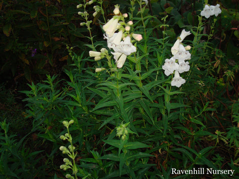 Penstemon 'Snowstorm'    syn P. 'White Bedder'