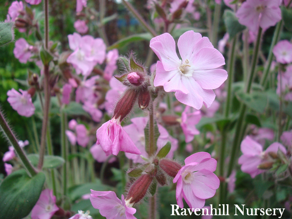Silene dioica Light Pink