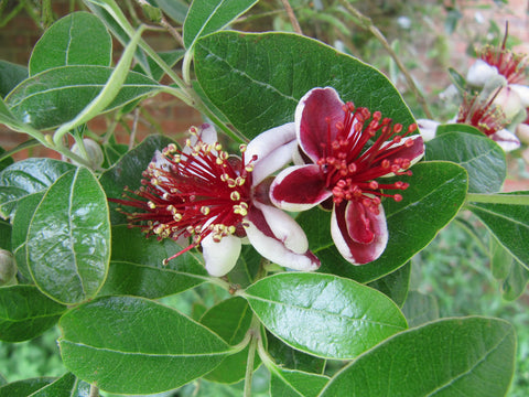 Feijoa sellowiana (Acca sellowiana, Pineapple Guava)