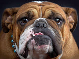 ENGLISH BULLDOG CHARM W/ NECKLACE - SPECIAL OFFER