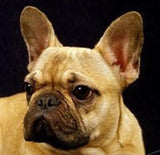 FRENCH BULLDOG CHARM W/ NECKLACE - SPECIAL OFFER