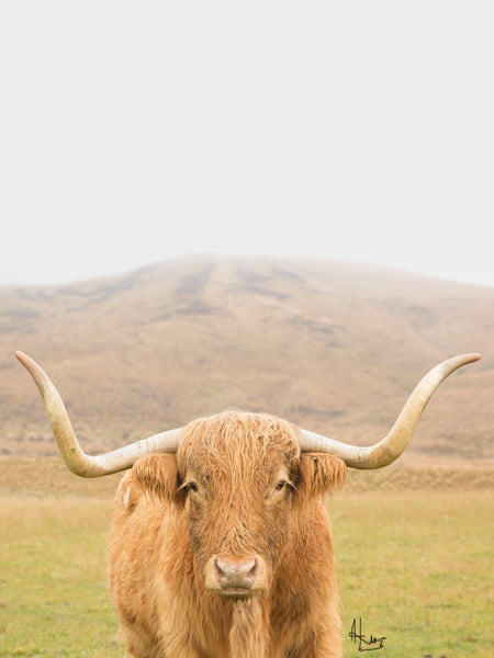 High Country Highland Cow