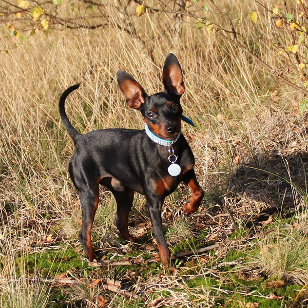 Image result for 犬 Mini Pinscher 走る