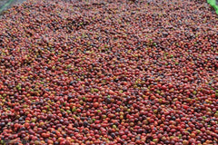 Ripe cherries from the Dumerso mill in Ethiopia