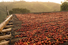 Naturally processed coffee drying on raised beds in Ethiopia