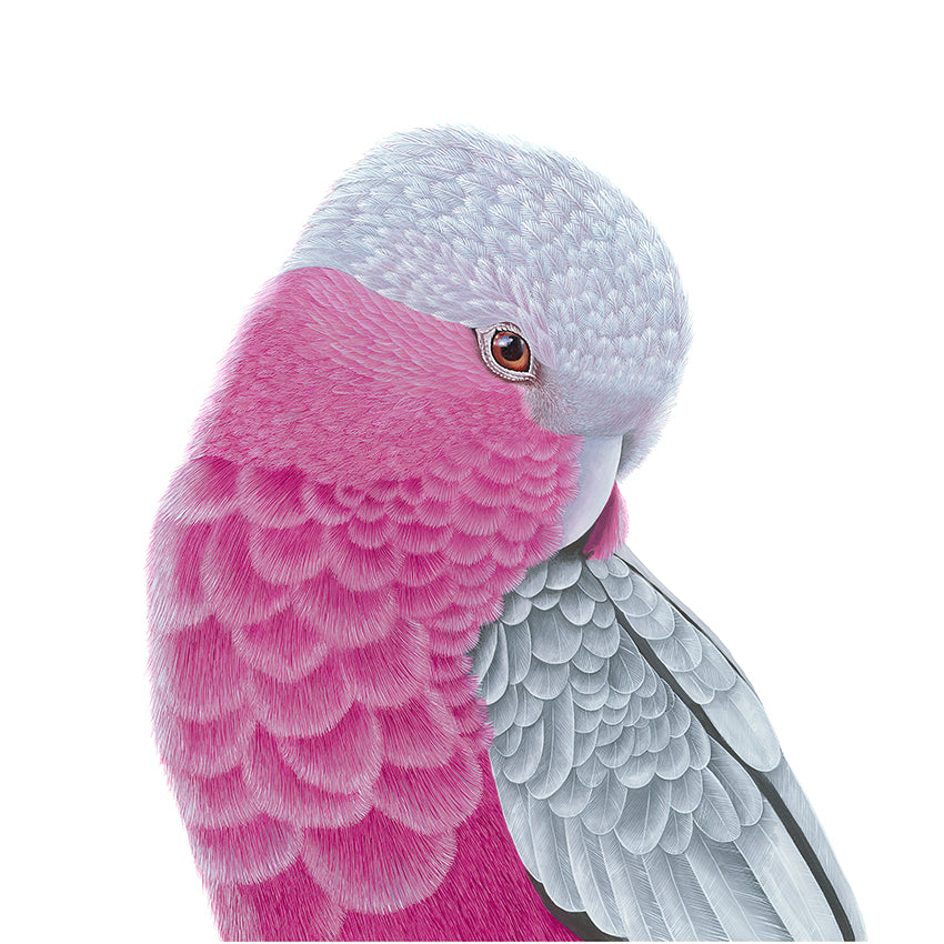 Bird - Pink and Grey Galah