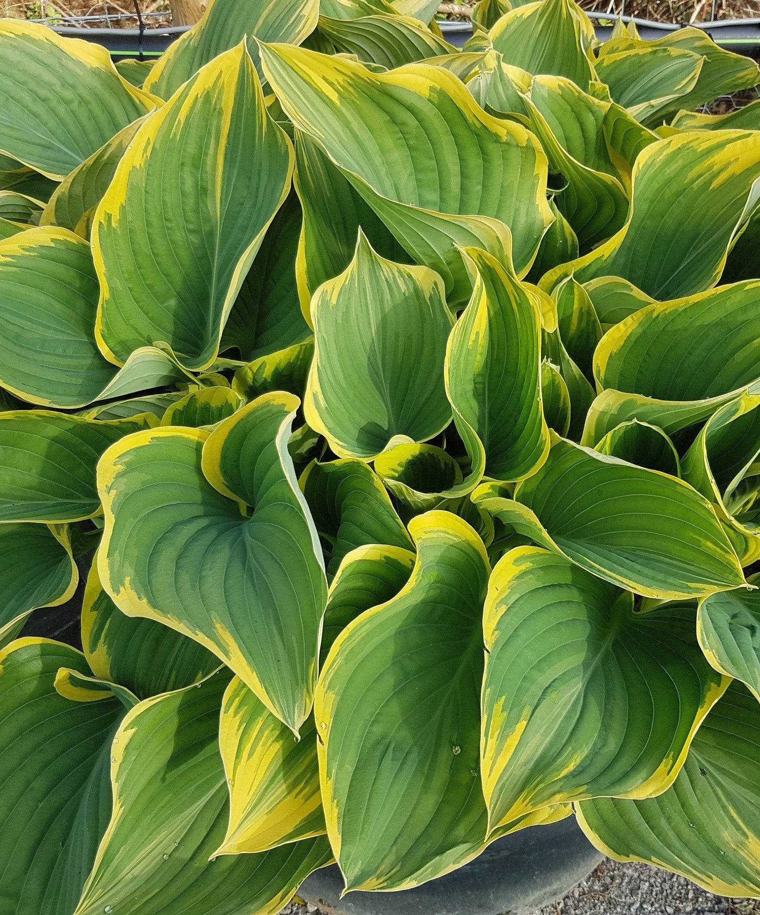 Growing Giants Sienna Hosta