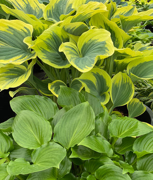 Growing Hostas for beginners