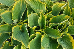 Sienna Hosta Large and Giant Hostas