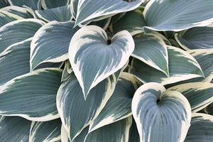 Sienna Hosta Medium