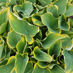 Giant and Large Hostas Online