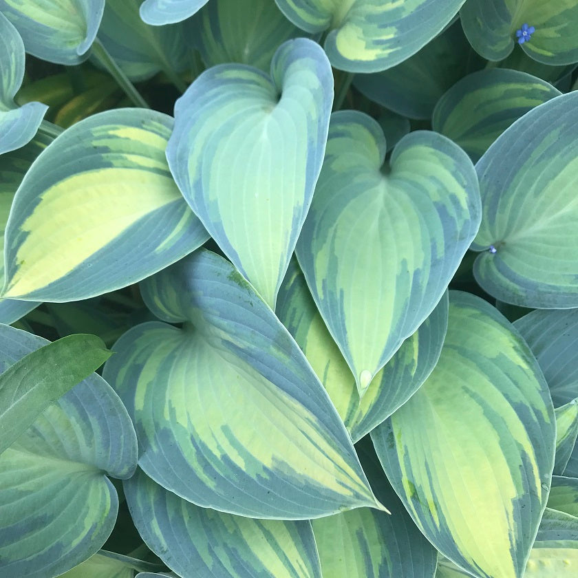 Sienna Hosta Specialist Mail Order Hosta Growers
