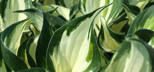 Buy hostas online UK