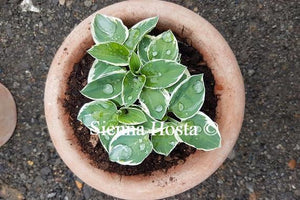 Hosta Country Mouse