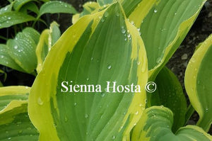 Hosta 'Regal Supreme'