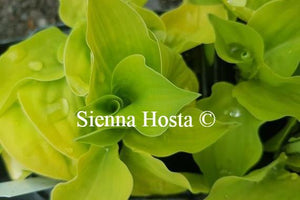 Hosta Illicit Affair